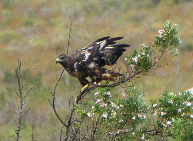 File:Buteo rufofuscus, Cape Town 1.jpg