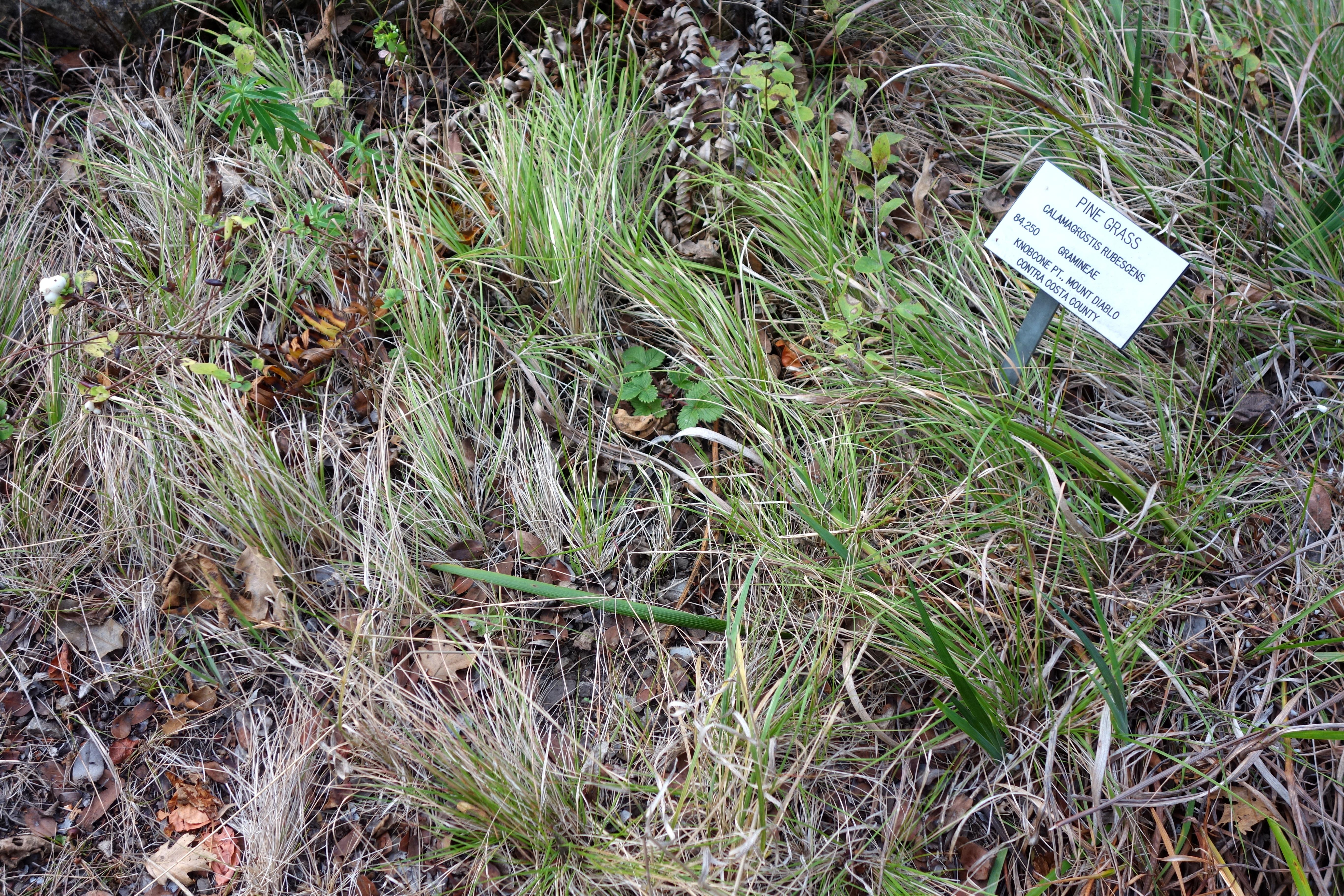 FileCalamagrostis rubescens Regional Parks Botanic Garden