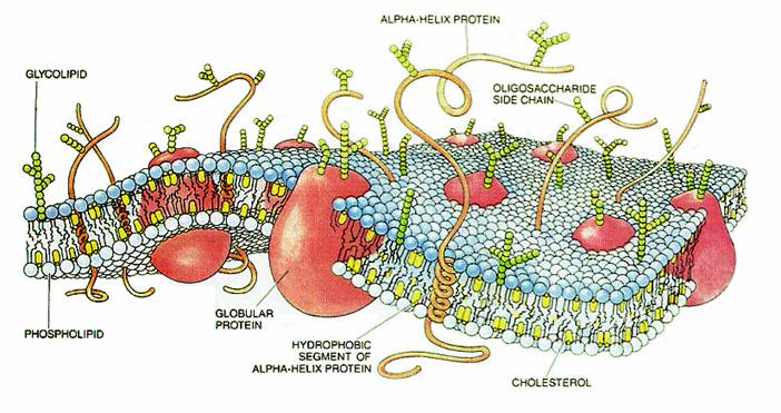The molecular structure of the cell membrane.