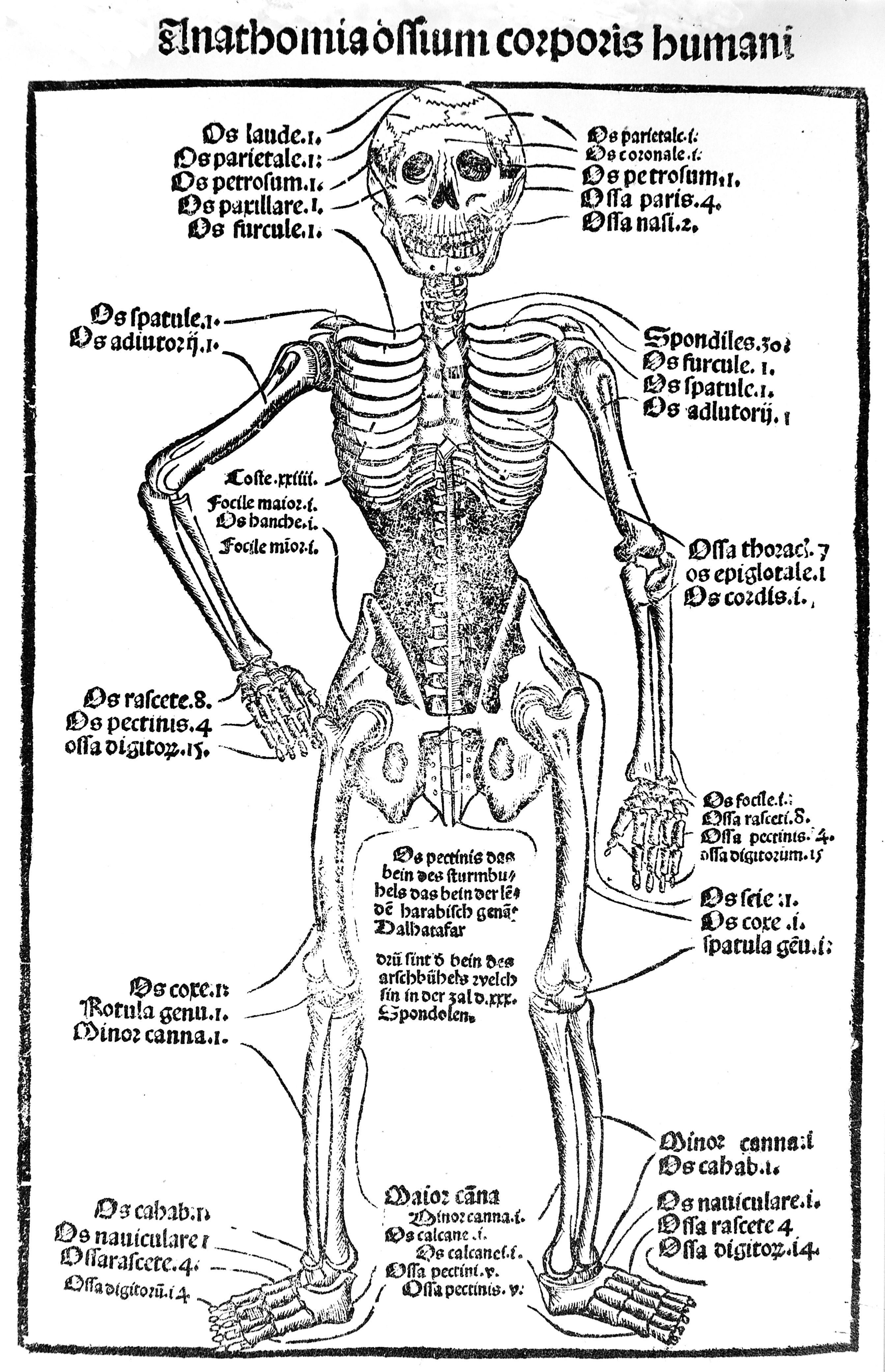 Erfreut Anatomie Der Beinsehnen Galerie - Anatomie Ideen - finotti.info