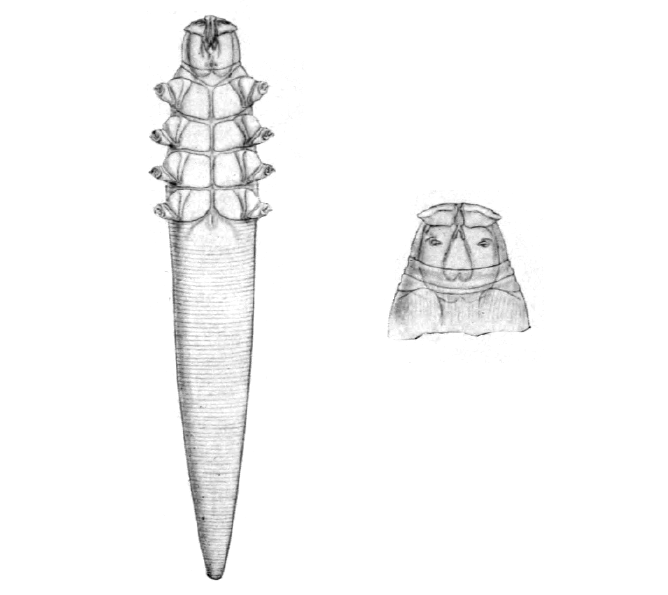 File:Demodex canis.png - Wikimedia Commons