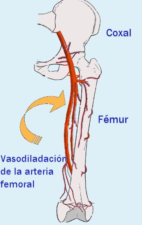 Archivo:DiagramaArteria.png - Wikipedia, la enciclopedia libre