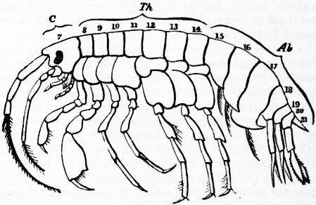 EB1911 Crustacea Fig. 4.—Diagram of an Amphipod.jpg