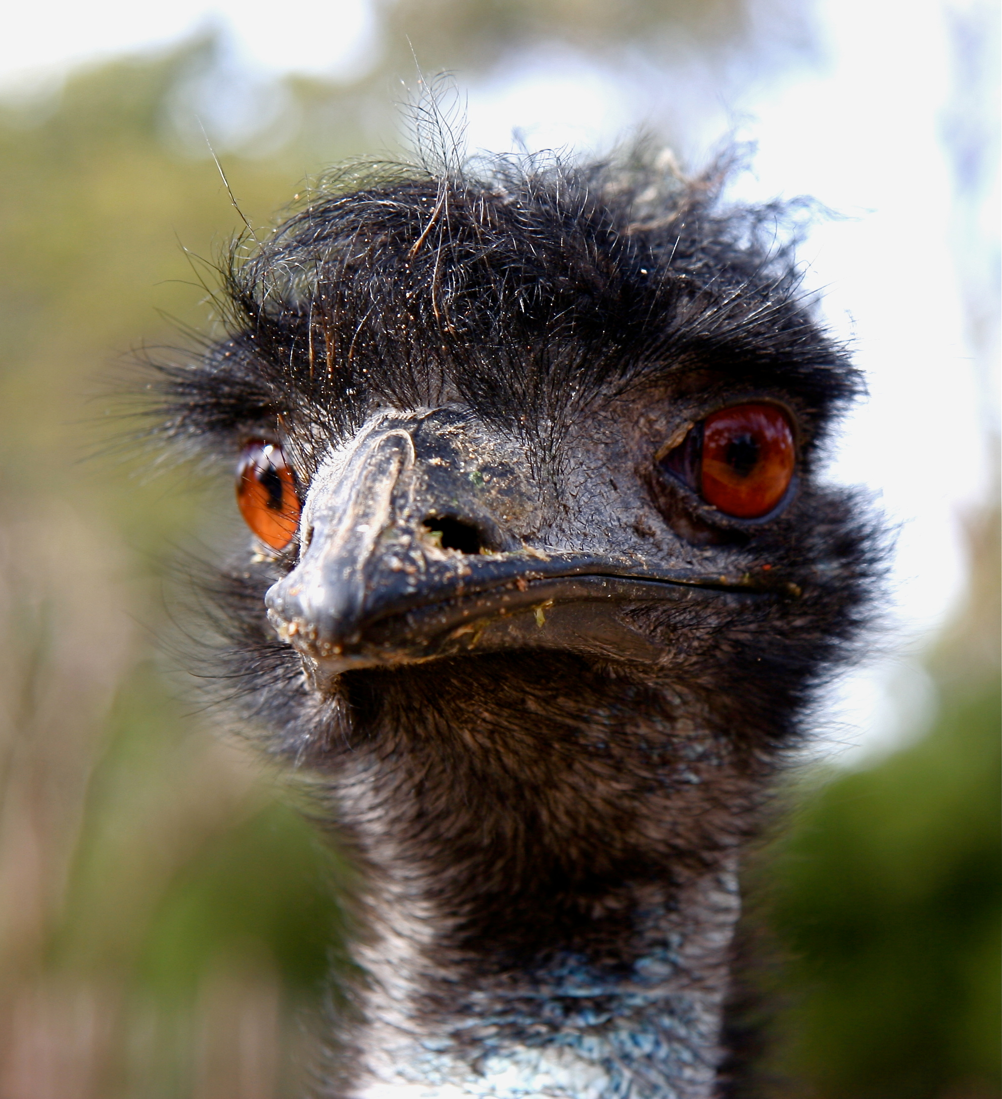 File:Emu (Dromaius novaehollandiae) -head.jpg - Wikipedia, the free ...