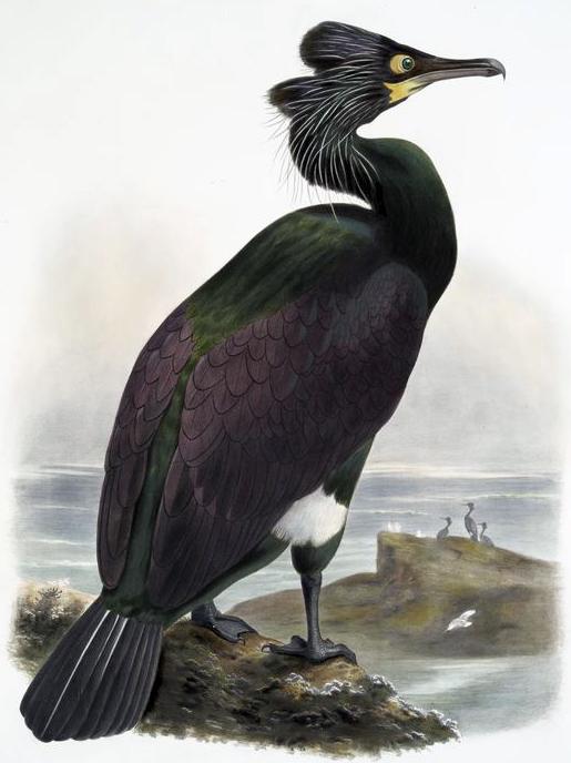 spectacled cormorant, pallas's cormorant, Joseph wolf, 1869, public domain