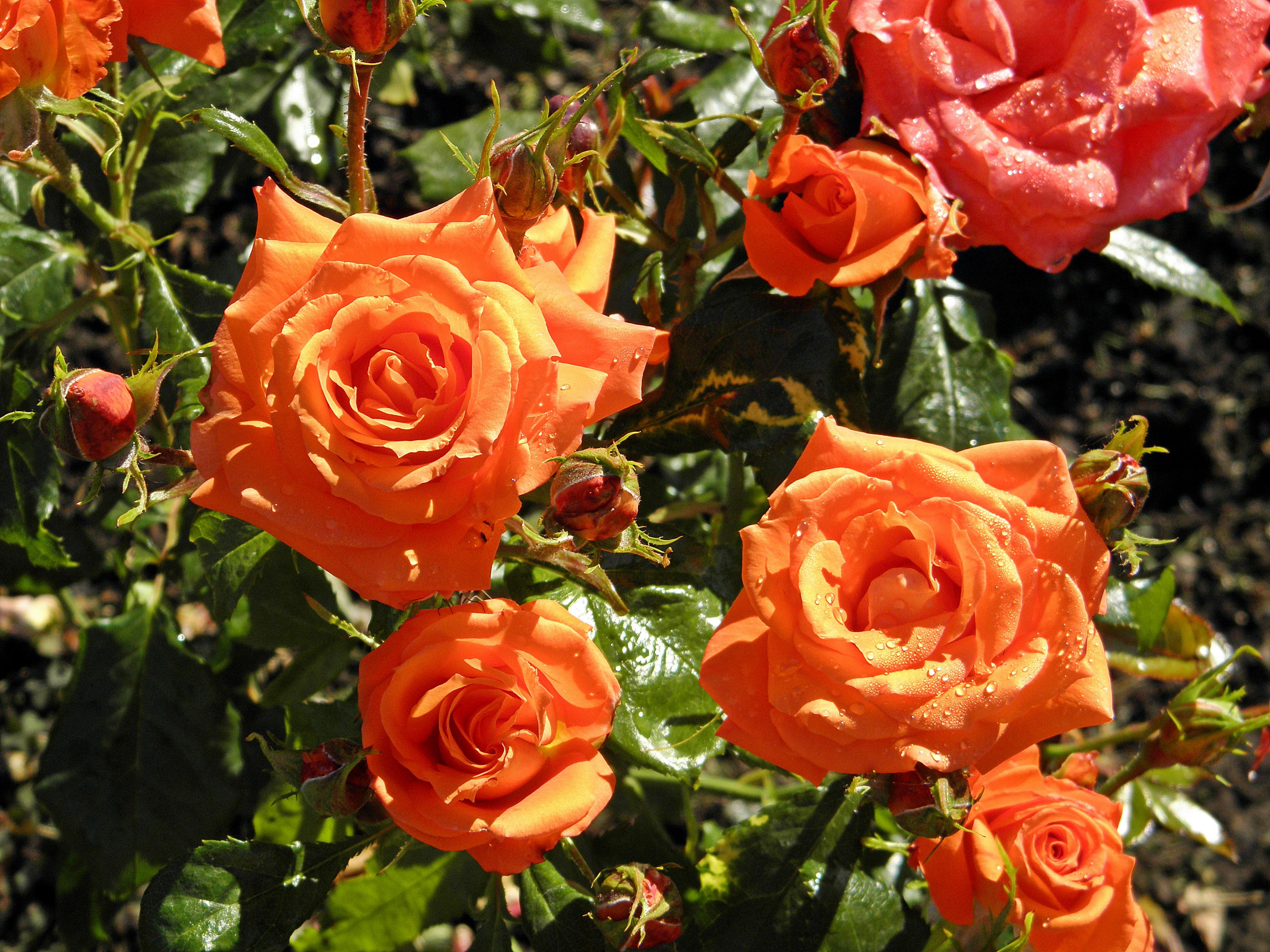 Image result for floribunda roses