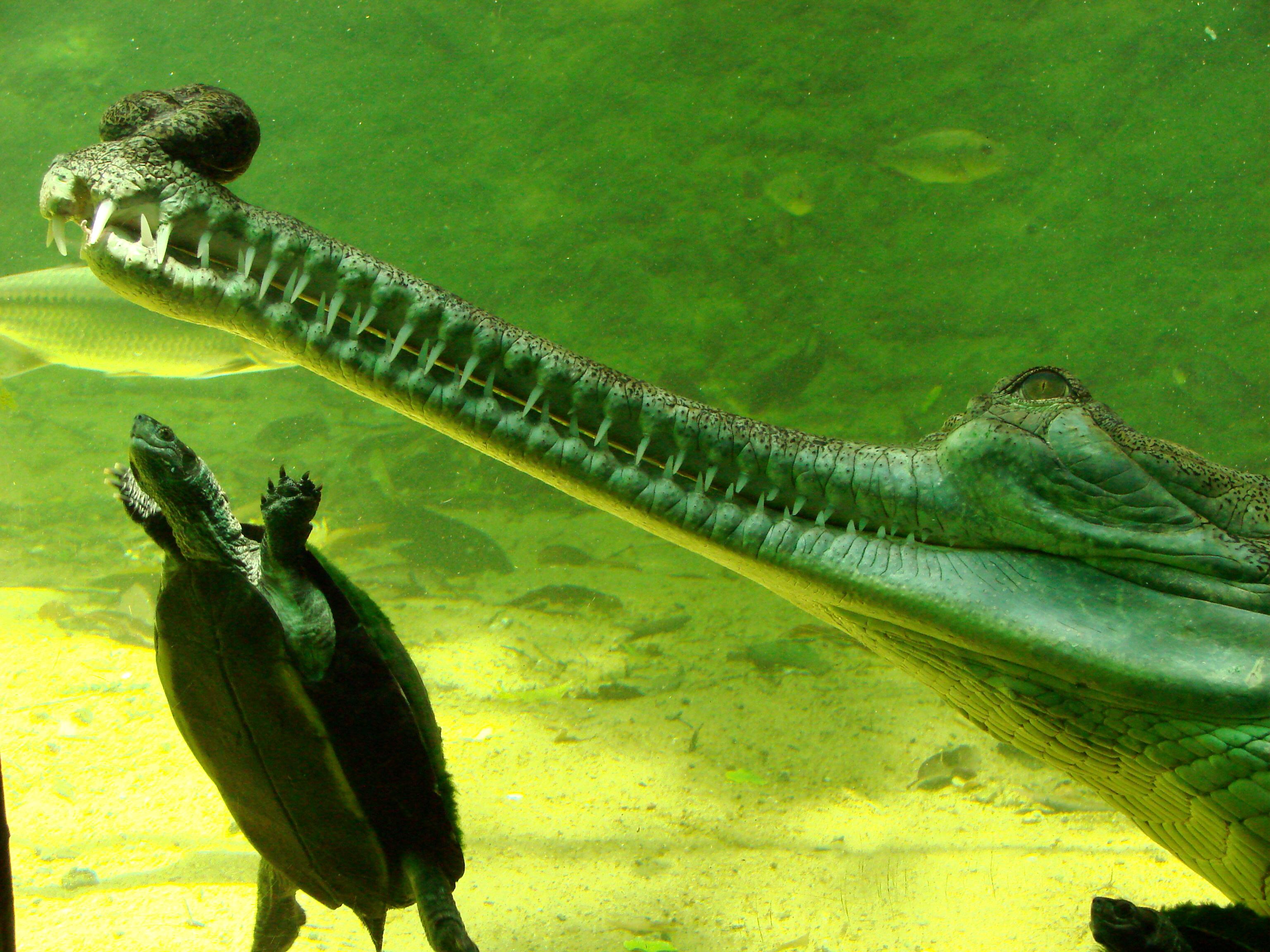 Crocodile vs alligator vs caiman vs gharial - photo#19