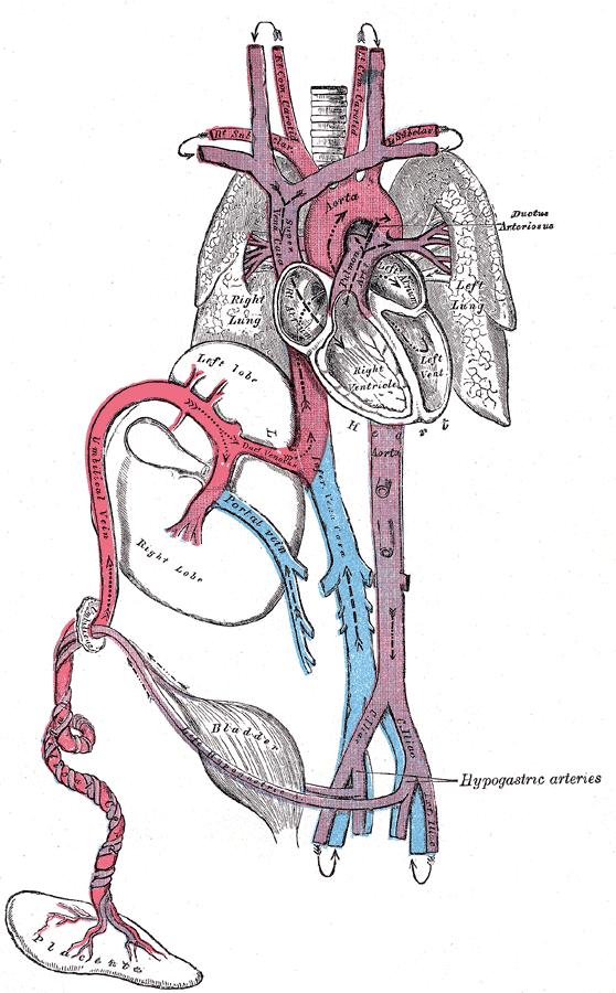 Umbilical artery - Wikipedia
