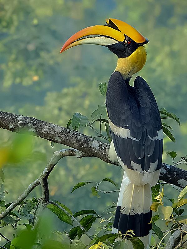 Great_hornbill_Photograph_by_Shantanu_Kuveskar.jpg