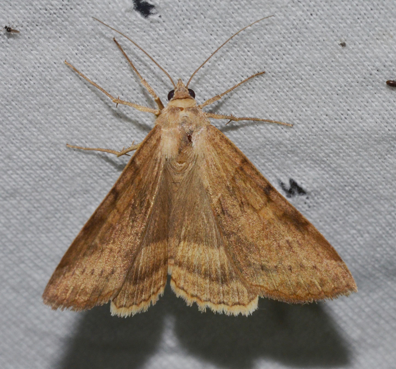 File:Helicoverpa zea - Corn Earworm Moth (14609135305).jpg ...