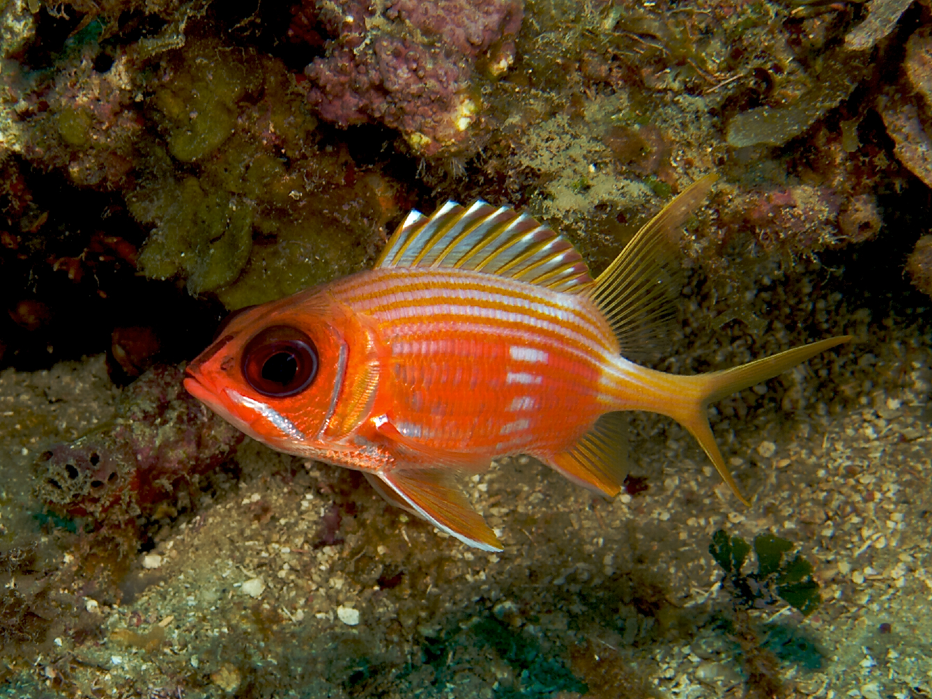 File holocentrus rufus longspine squirrelfish jpg for Easiest fish to take care of