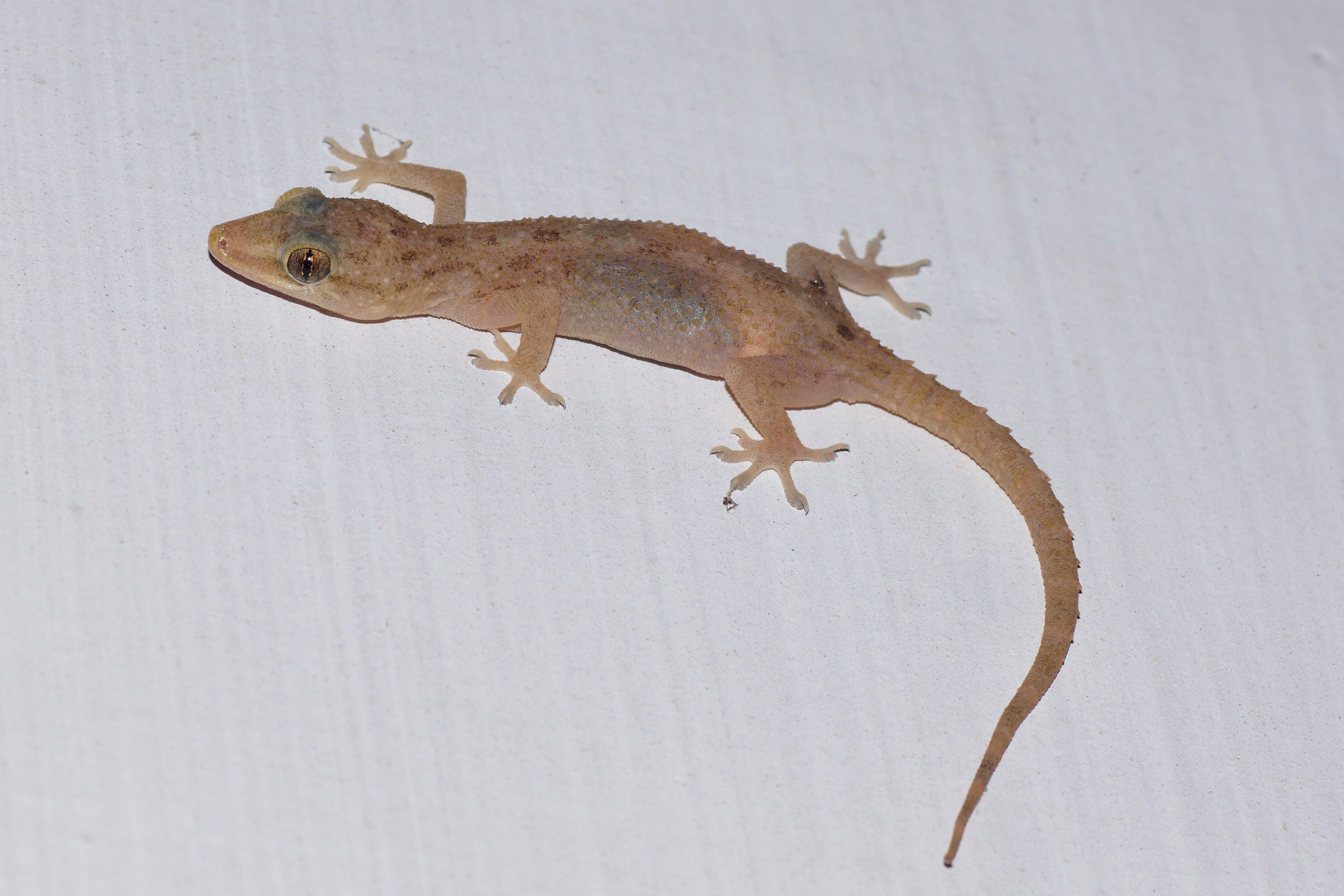 Pictures Of House Lizards | www.pixshark.com - Images ...