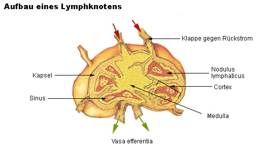 Lymphknoten – Wikipedia