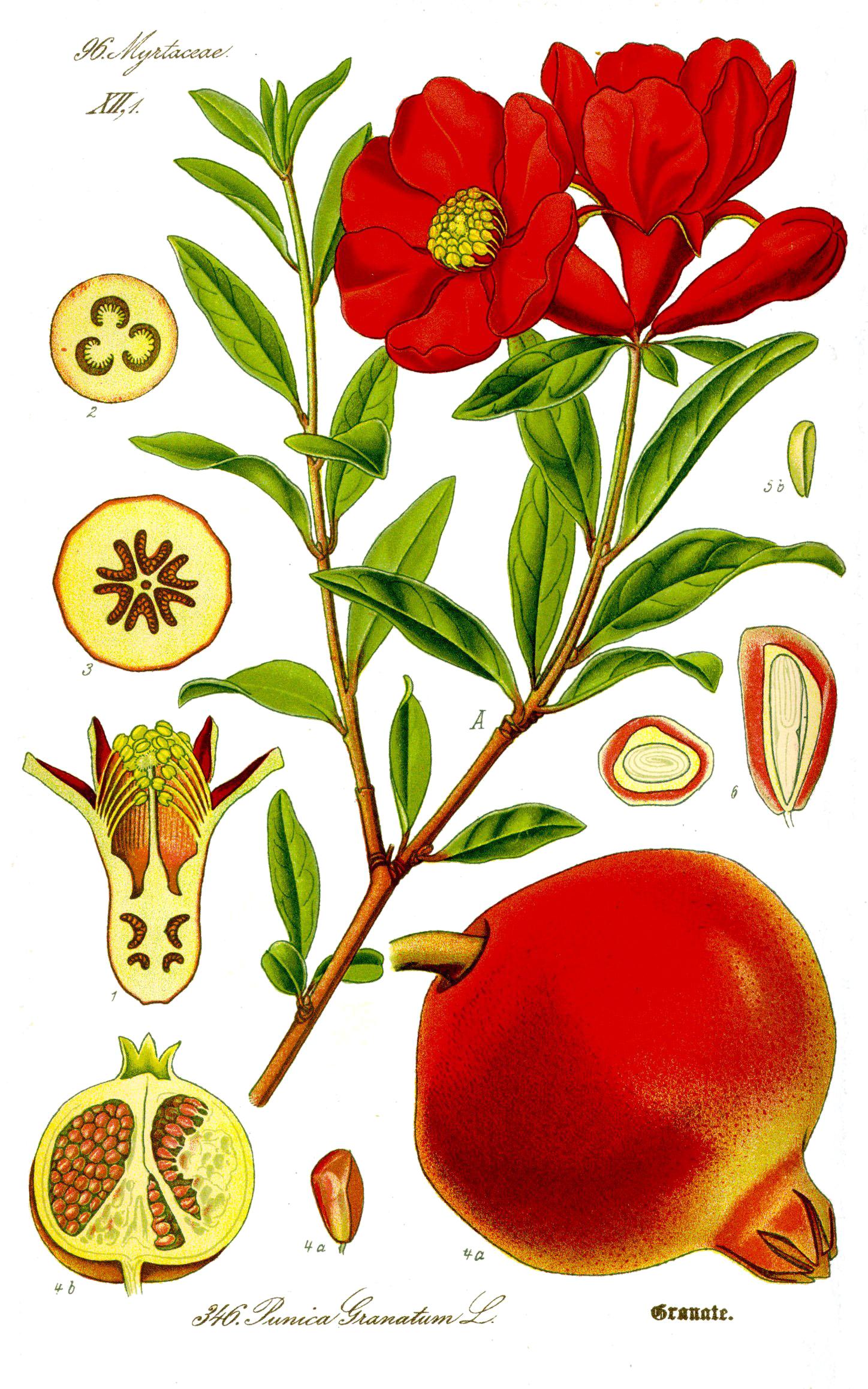 ザクロ. Illustration Punica granatum1