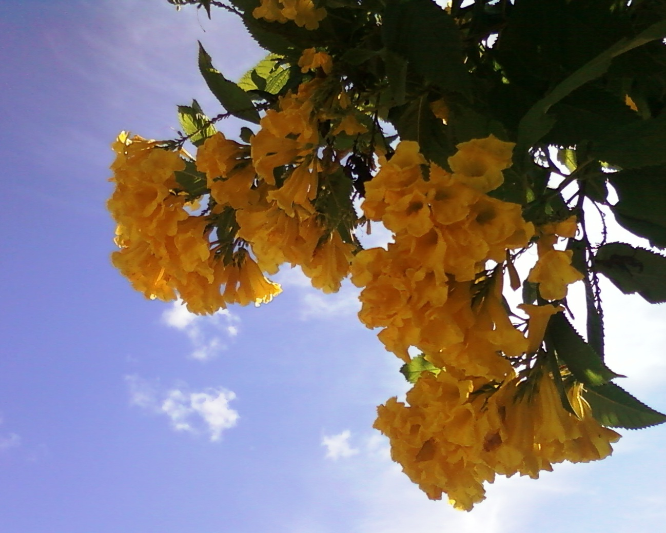 Filejacaranda Family Tecoma Stans Yellow Bell Flowers At Vuda Park