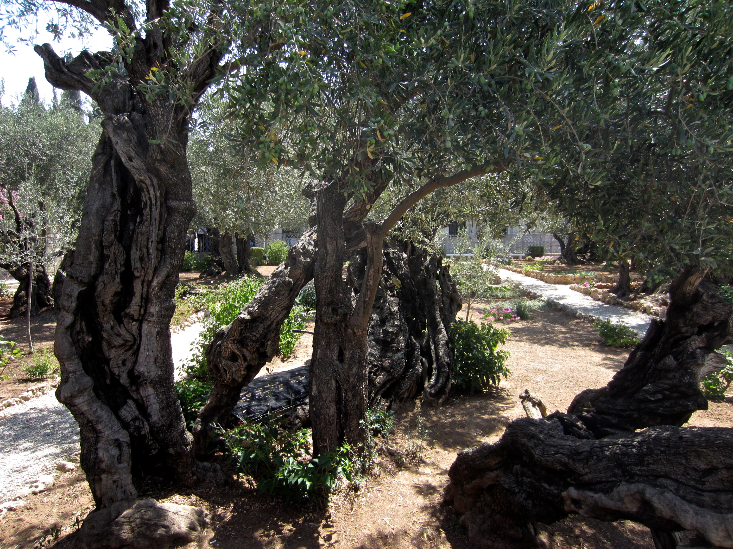 file jerusalem garden of hsemane mount of olives