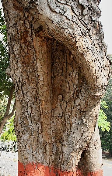 Fichier:Kigelia africana Bark.jpg — Wikipédia
