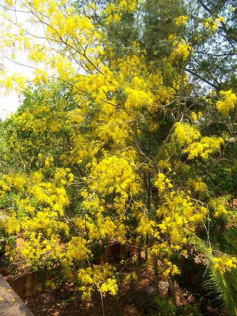 Cassia fistula - Wikiwand