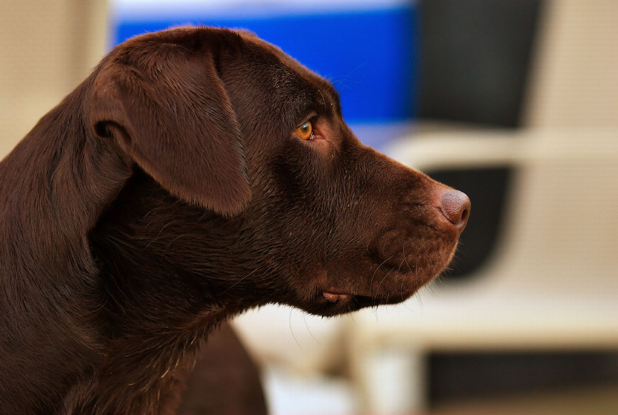 Image Result For Chocolate Lab Coloring