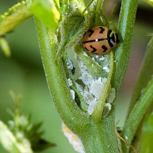 Ladybug%28india%29.jpg