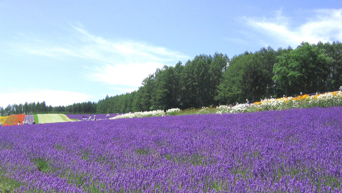 Лавандовые поля в Японии