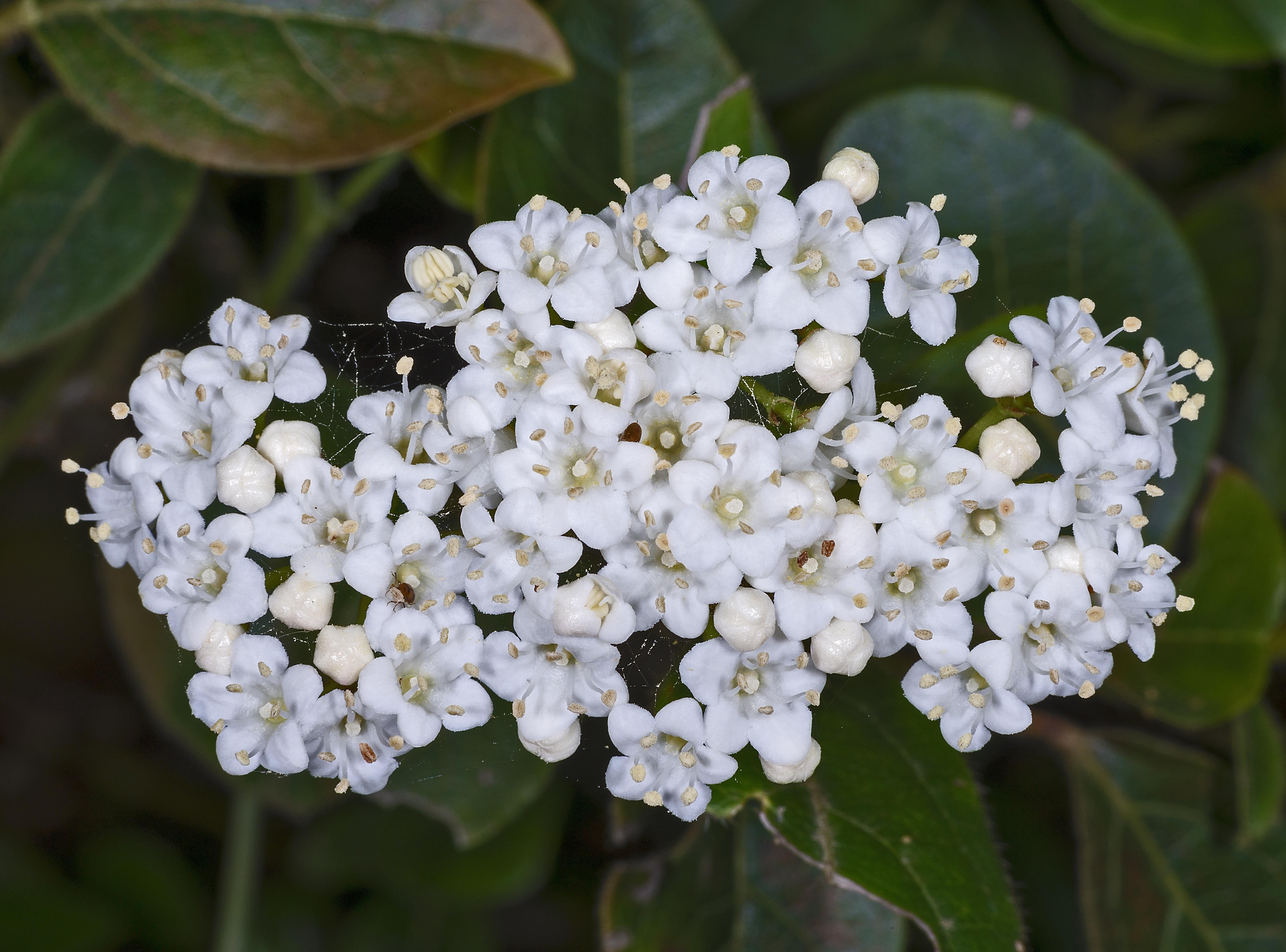 Taille Du Laurier Tin fichier:mhnt viburnum tinus — wikipédia