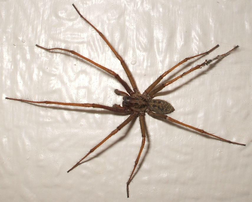 Brown recluse spider biology and elimination]