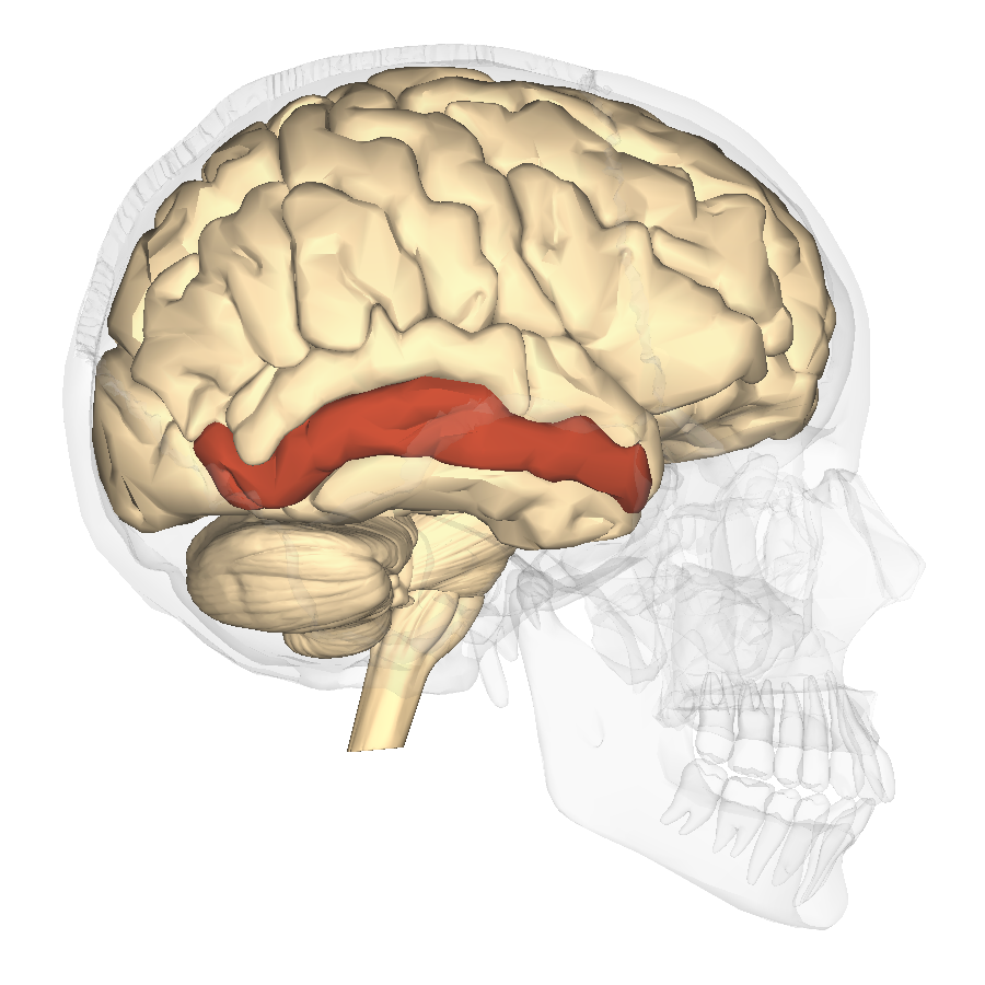 file:middle temporal gyrus lateral - wikimedia commons, Human Body