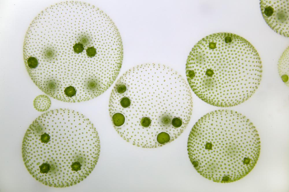 Volvox, alga clorofícea que forma colonias
