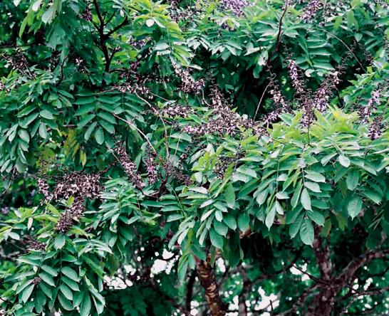 African Rosewood Wikipedia