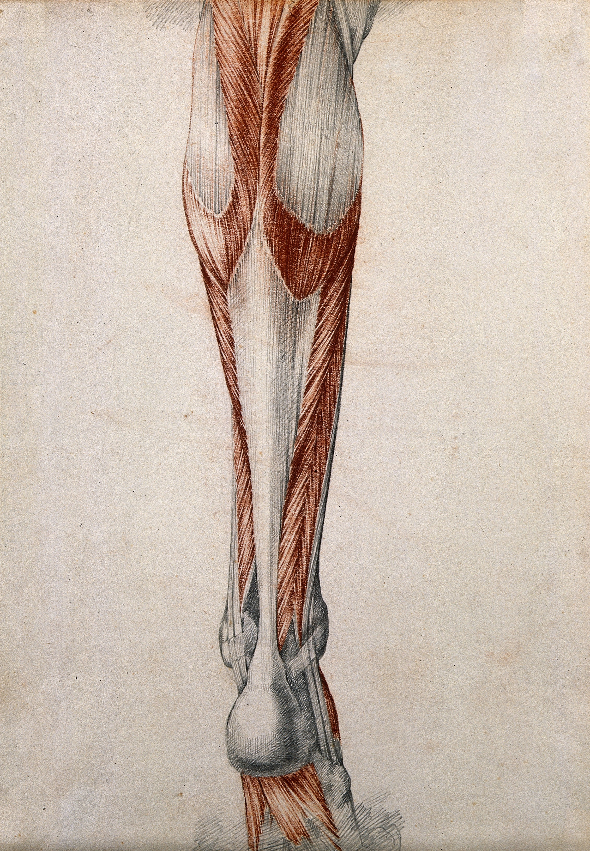 Filemuscles And Tendons Of The Lower Leg And Foot Seen From Beh