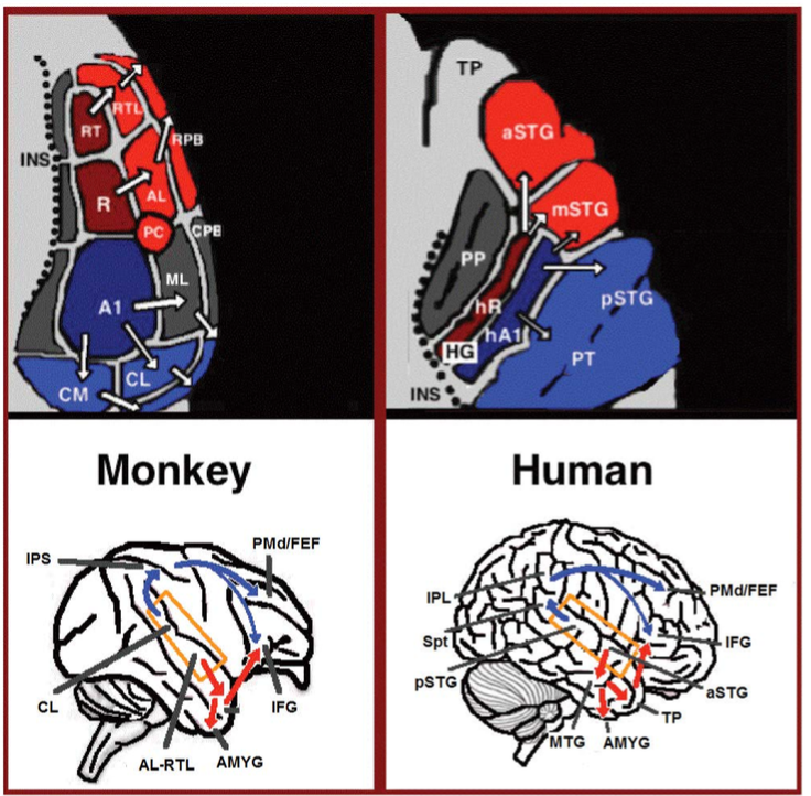 Language processing in the brain - Wikipedia