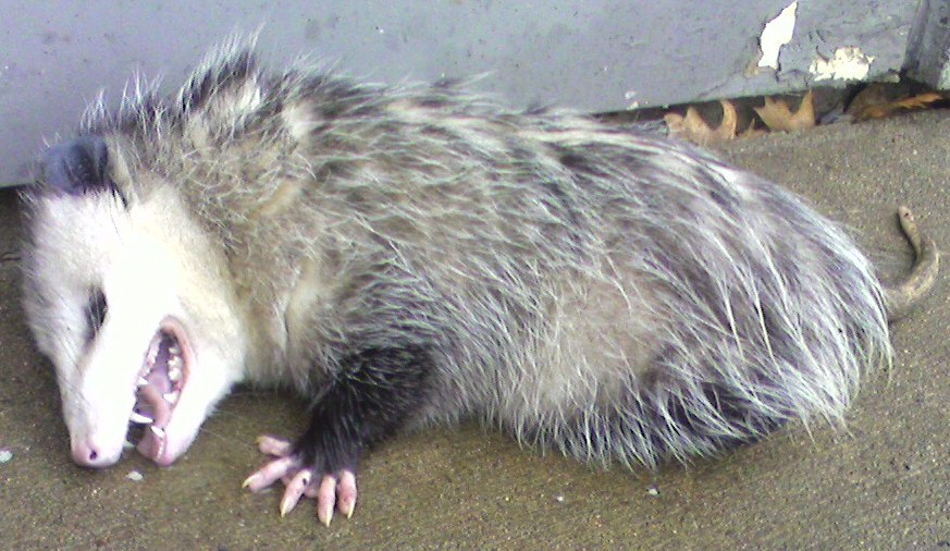 Image result for images of possum playing dead in garbage can