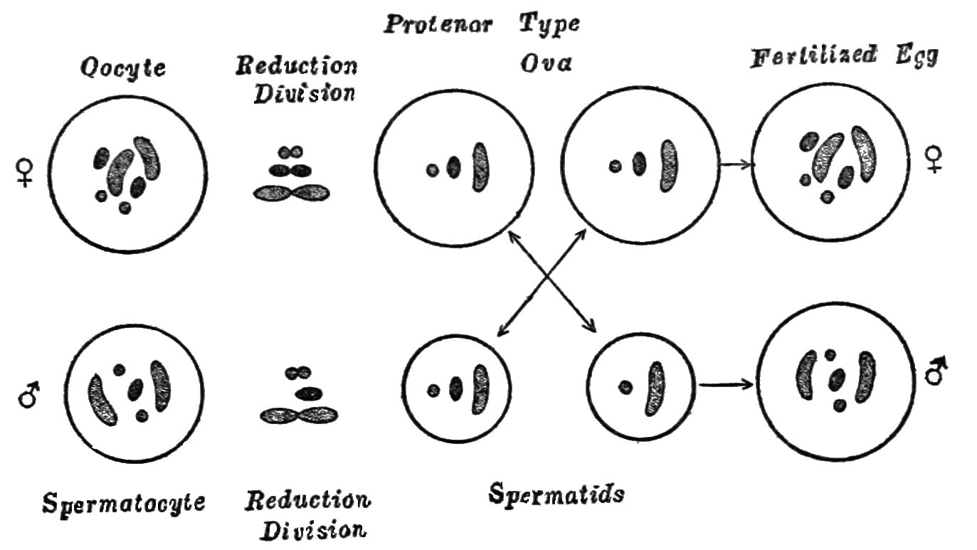 PSM V85 D133 Diagrams of sex differentiation in the bug protenor.png