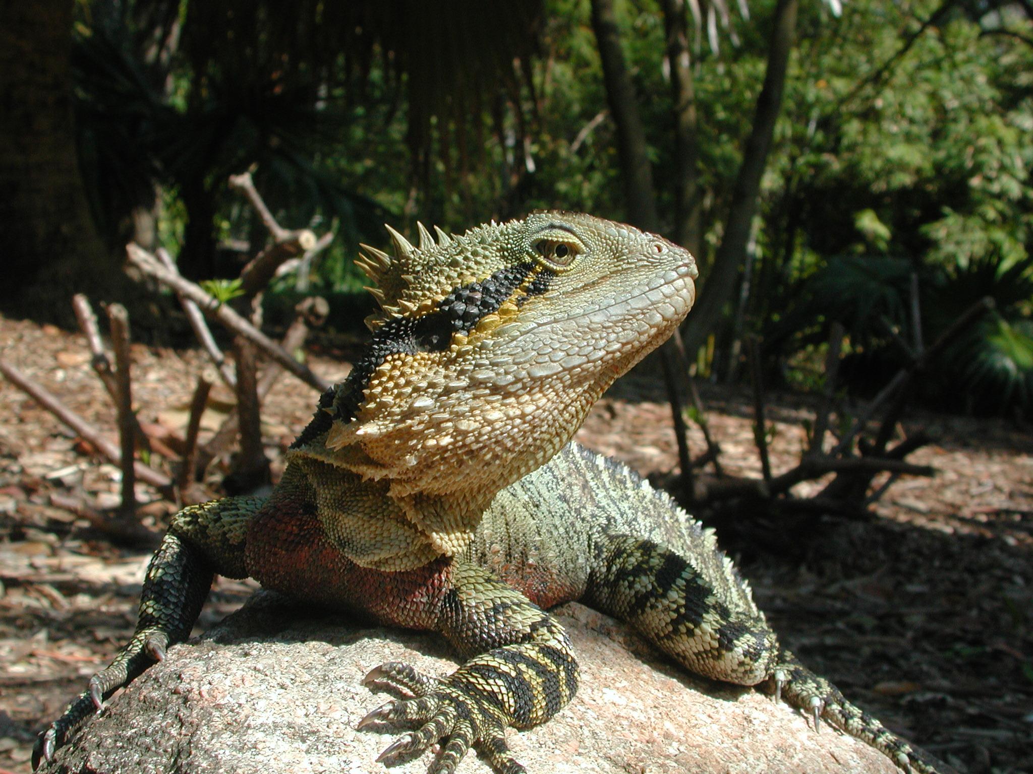 Australian Water Dragon: File:Physignathus Lesueurii.jpg