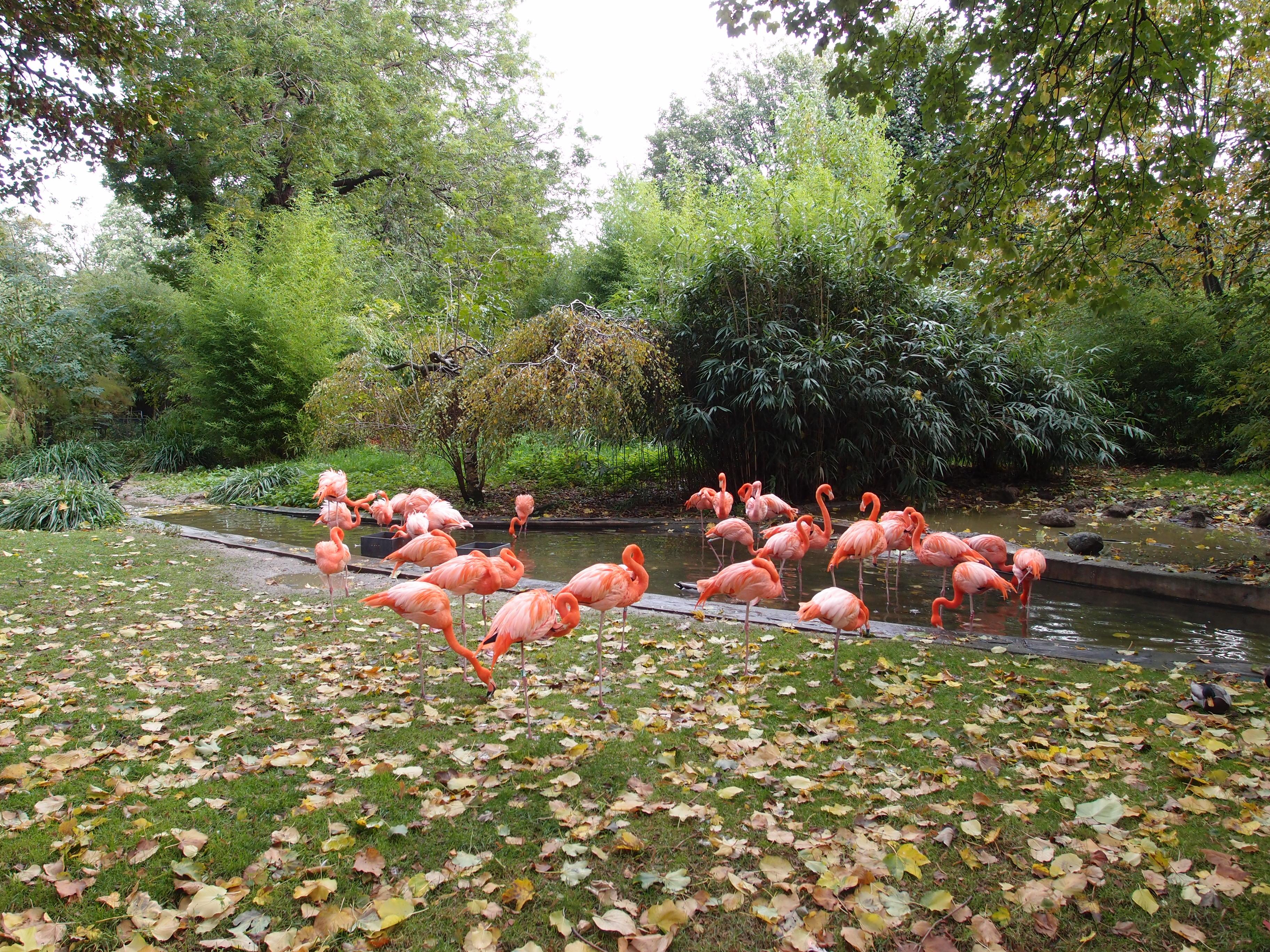 File pink flamingos in zoo inside jardin des plantes wikimedia commons - Zoo du jardin des plantes tarifs ...