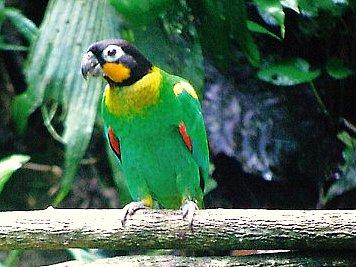 Orange Cheeked Parrot