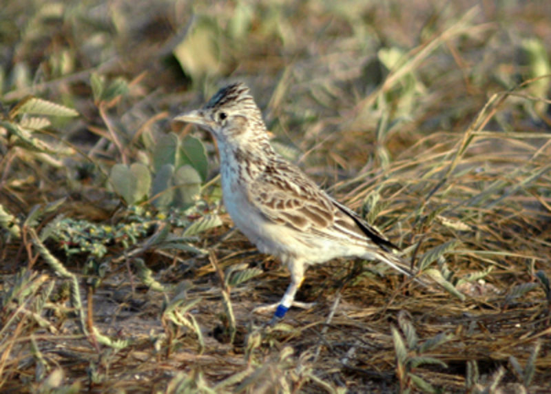 A lark. Image from wiki commons