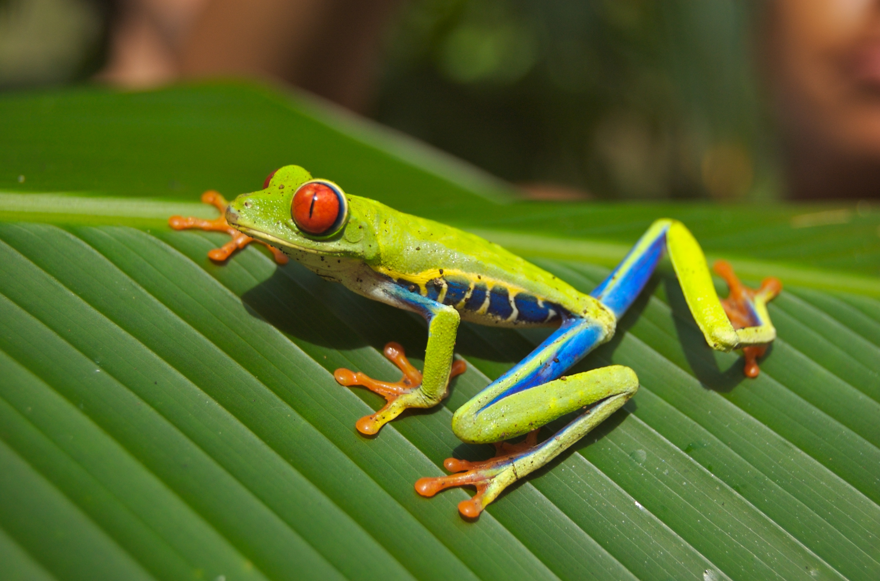 Asian golden tree frog facts images 321