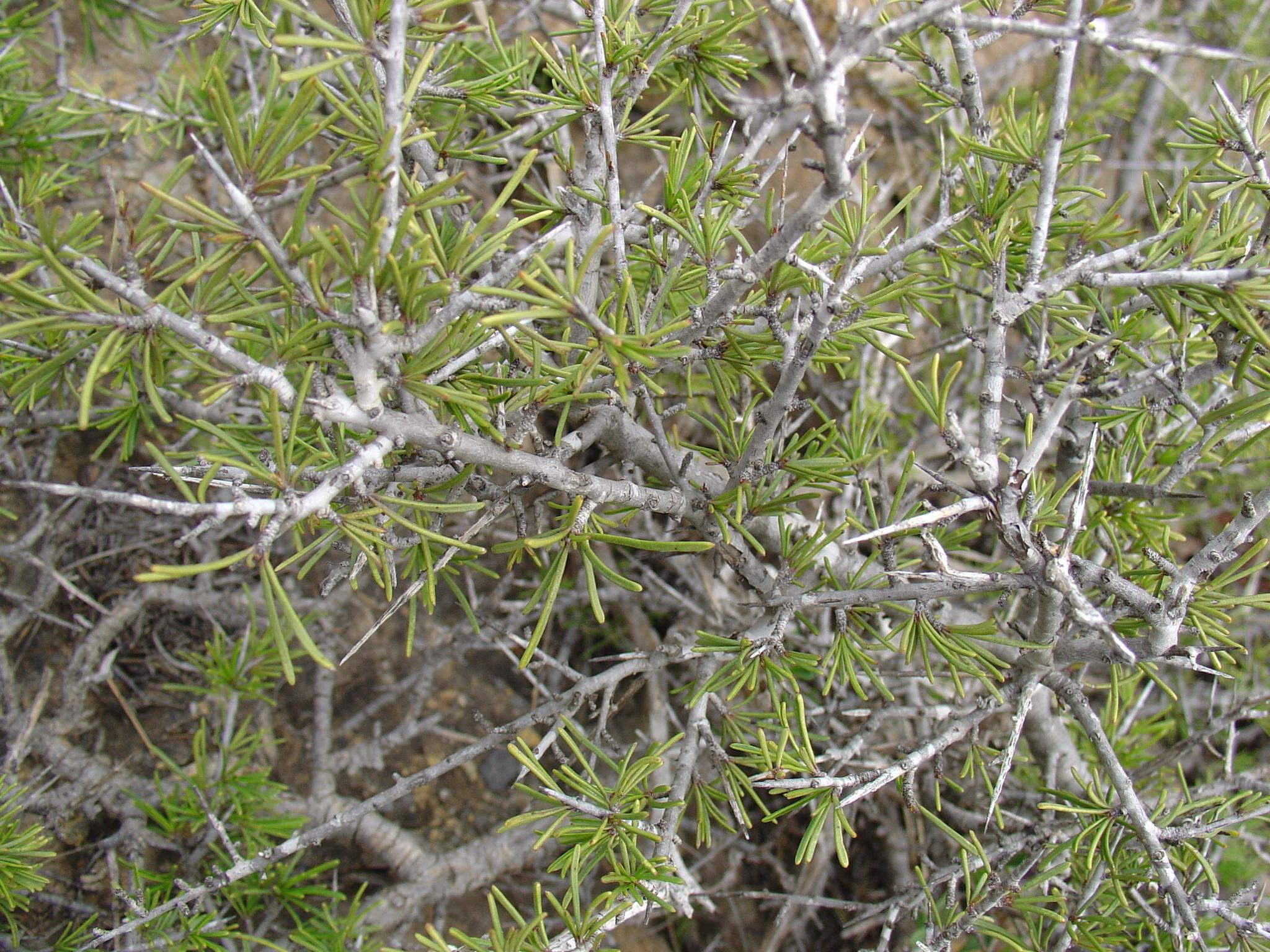 Catálogo de flora autóctona Rhamnus_lycioides
