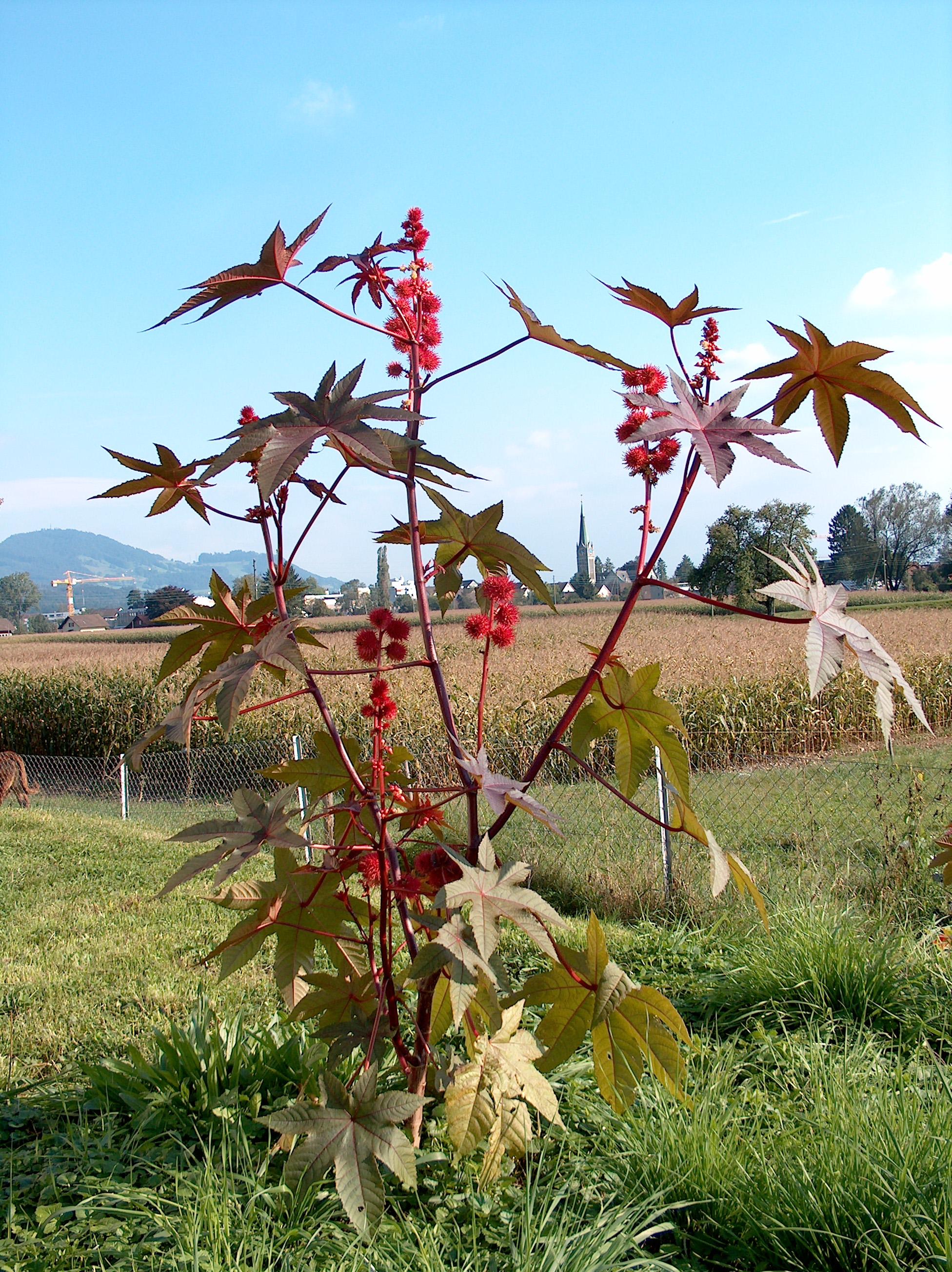 Ricinus communis planta de la que se extrae el aceite de ricino o castor oil