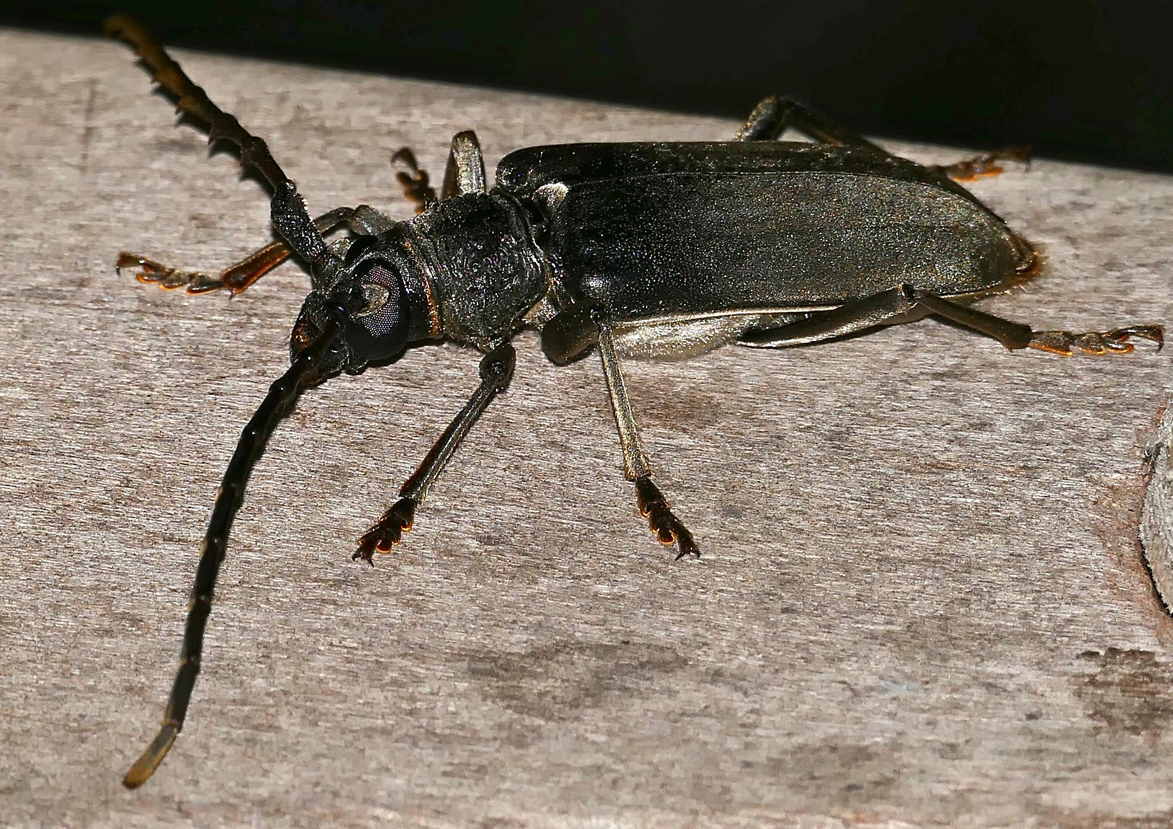 Sawtooth-antenna_Longhorn_Beetle_%28Neoplocaederus_granulatus%29_%2832286605016%29.jpg