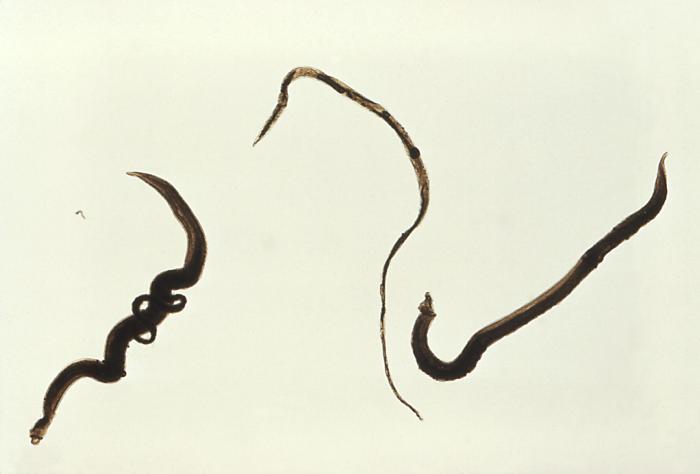 Depiction of Schistosoma mansoni