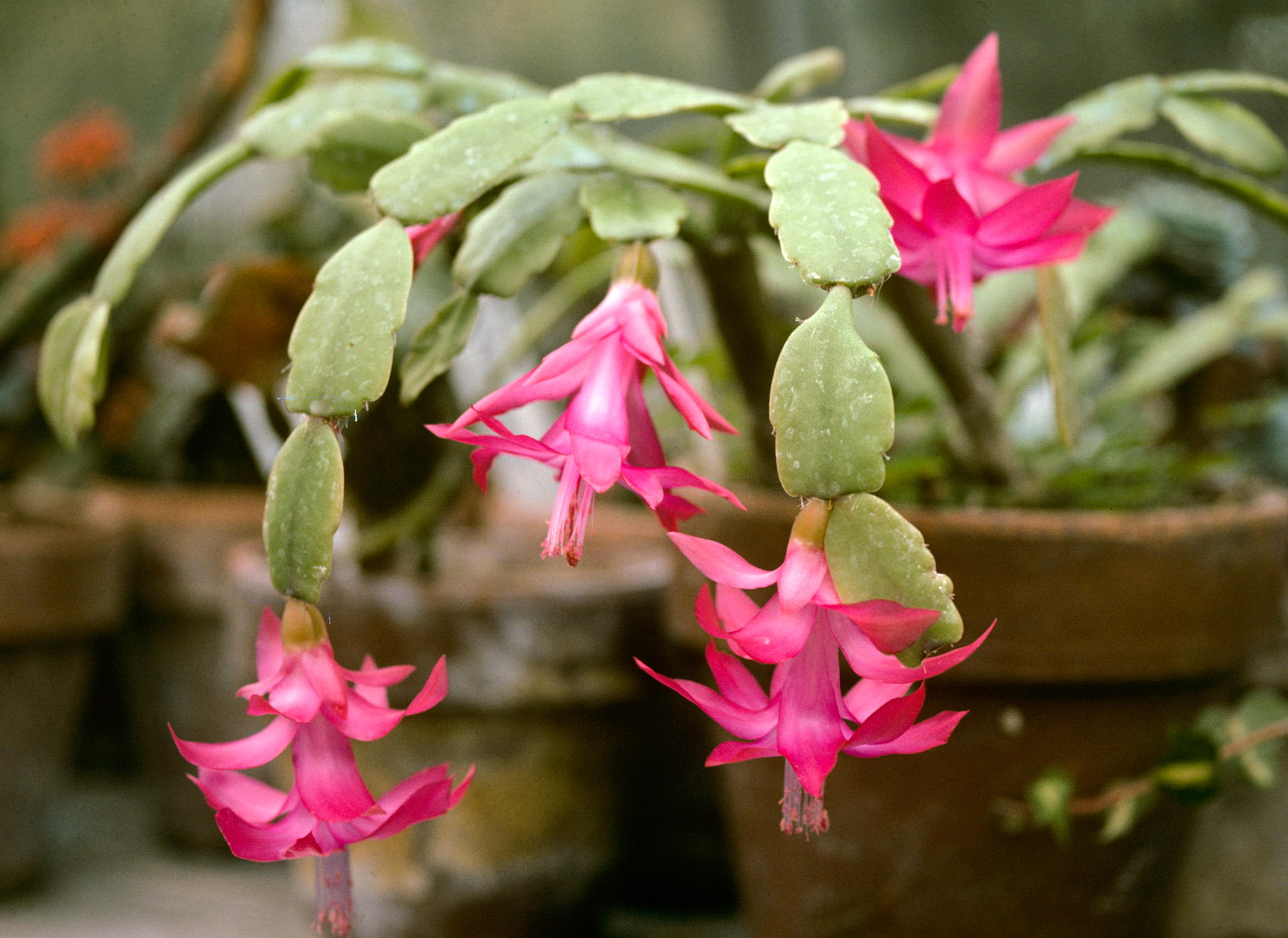 Description schlumbergera buckleyi wpc3