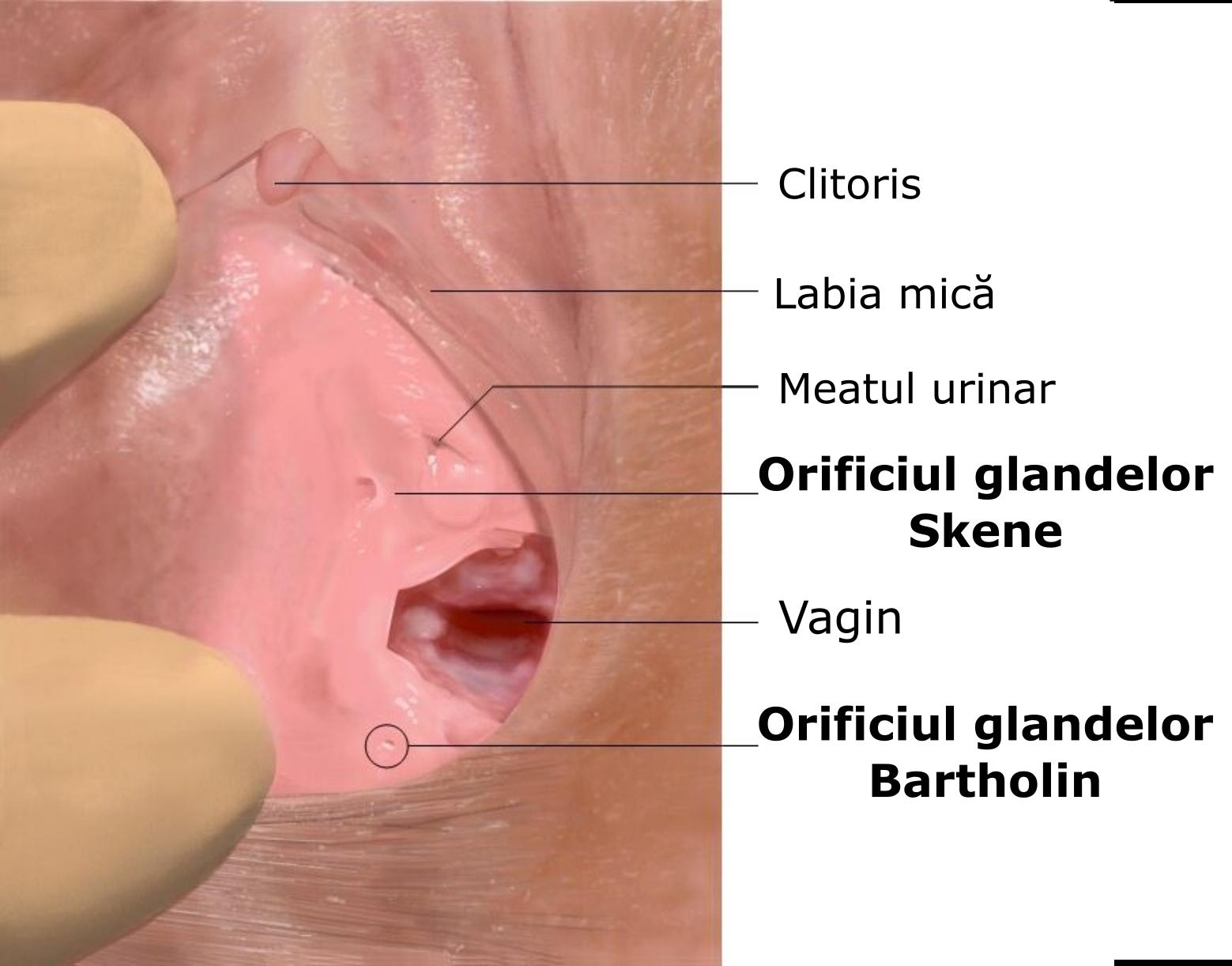 erecția genitală feminină