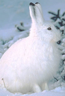 The snowshoe hare is one animal that changes c...