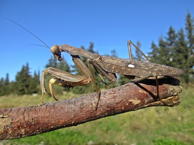 File:Sphodromantis viridis (Mantidae) - (imago), Río Guadaiza, Spain - 2.jpg