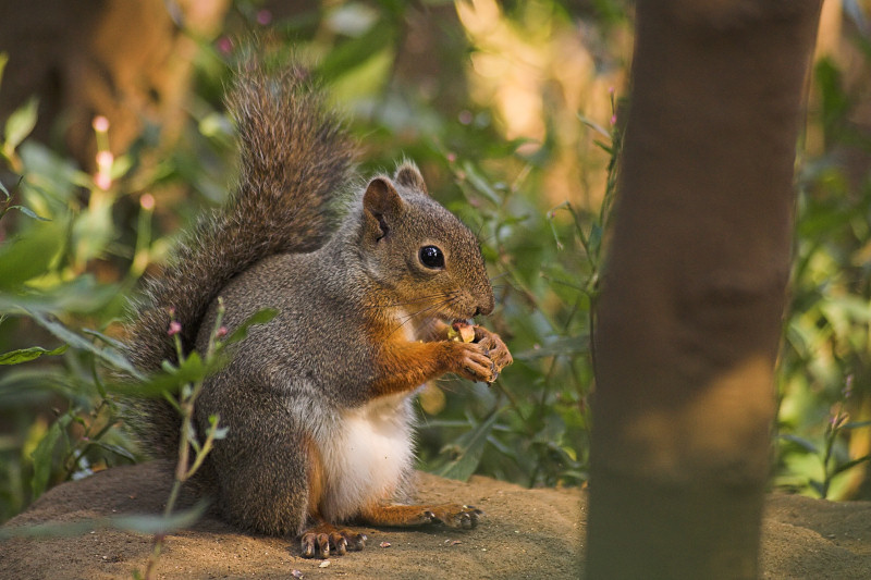 file squirrel with nut jpg wikipedia