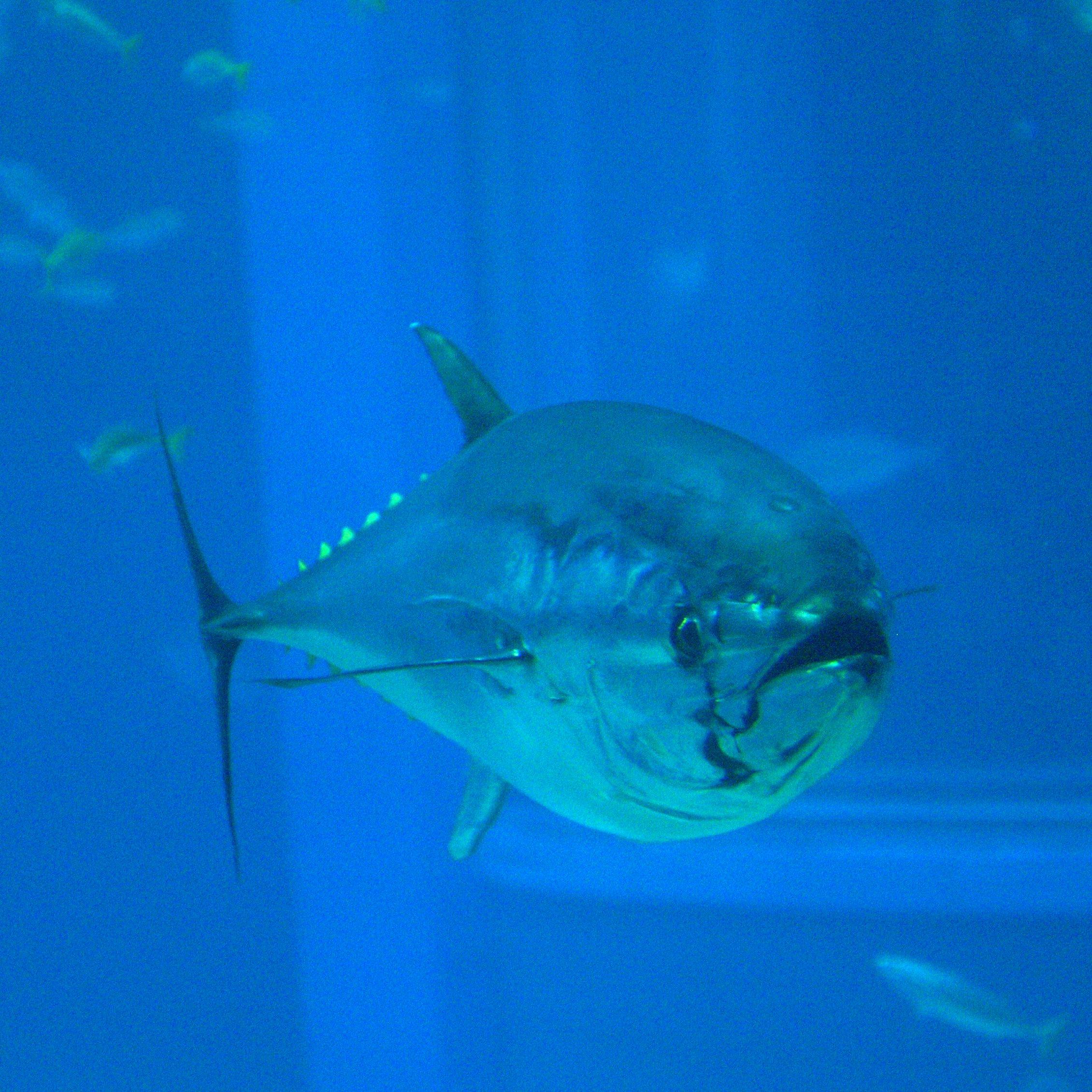 Thunnus orientalis (Osaka Kaiyukan Aquarium).jpg
