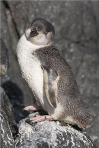 English: White-Flippered Penguin (Eudyptula al...